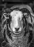 Moutons à cornes Image stock