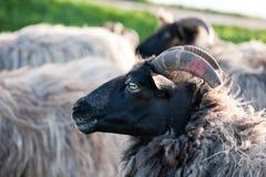 Moutons à cornes gris de bruyère images libres de droits