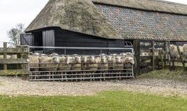Moutons à l'écurie Photo stock