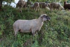 Moutons à l'heure d'été auguste en Allemagne du sud près de Stuttgart photos stock