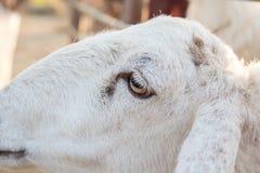 Moutons à la ferme Photos libres de droits