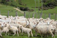 Moutons à la ferme image libre de droits