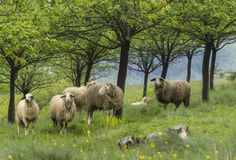 Moutons à un pâturage Images libres de droits