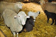 Moutons à une ferme Image libre de droits