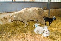 Moutons à une ferme Images libres de droits