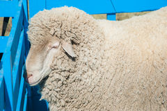 Moutons à une ferme Photos stock
