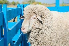 Moutons à une ferme Photographie stock libre de droits