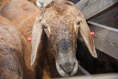 Moutons à une ferme Photographie stock