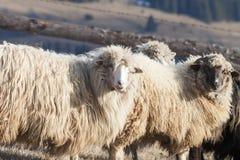 Moutons à une ferme Photos libres de droits