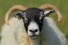 Moutons écossais de blackface Photo stock