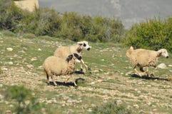 Moutons épuisés de pâturage De nouveau à l'amorce Photos libres de droits