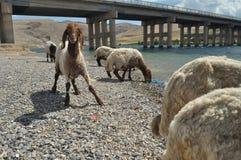 Moutons épuisés de pâturage De nouveau à l'amorce laines Photos libres de droits