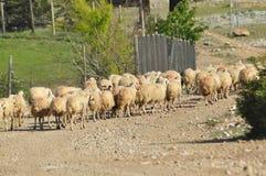 Moutons épuisés de pâturage De nouveau à l'amorce laines Photo libre de droits