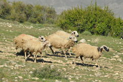 Moutons épuisés de pâturage De nouveau à l'amorce laines Images stock
