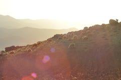 Moutons épuisés de pâturage De nouveau à l'amorce laines Photographie stock libre de droits