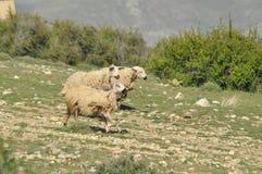 Moutons épuisés de pâturage De nouveau à l'amorce laines Photo stock
