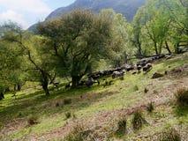 Moutons étant vécus en troupe vers le haut de la colline Photo stock