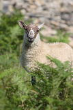 Moutons 001 image stock