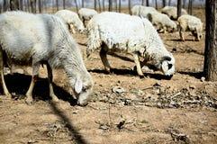 Moutons 03 Images libres de droits