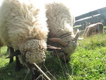 Moutons banque de vidéos