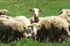Moutons. Photo libre de droits