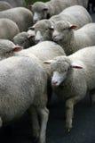 Moutons. Photos stock