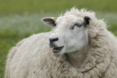 Moutons photo libre de droits