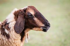 Moutons. Photo stock