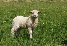 Moutons Image libre de droits