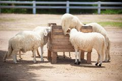 Moutons Photographie stock