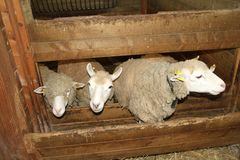 Moutons Photo libre de droits