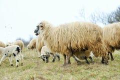 Moutons Photos stock