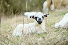 Moutons Image stock