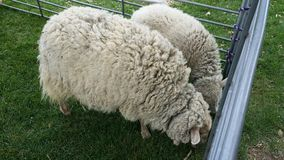 2 moutons Photos stock
