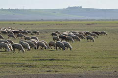 Moutons Images stock