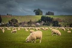 Moutons images libres de droits