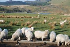 Moutons. Photographie stock libre de droits