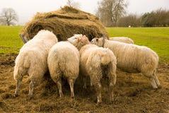 Moutons affamés Photo libre de droits