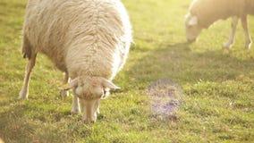 Moutons alimentant le moment Les animaux affamés mange l'herbe verte banque de vidéos