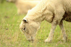 Moutons alimentants Photo stock