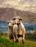 Moutons angéliques image stock