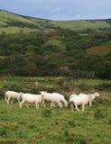 Moutons anglais Image stock