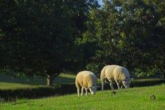 Moutons anglais Images stock