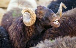 Moutons animaux Photos libres de droits