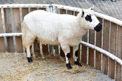 Moutons, animaux dans une cage de zoo Photos stock