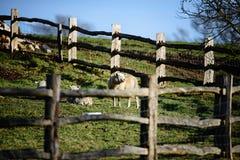 Moutons appréciant le soleil d'hiver Photographie stock libre de droits