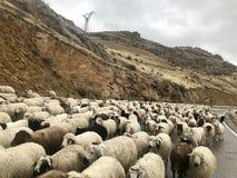 Moutons, Arménie photographie stock