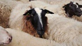 Moutons attendant pour être tondu banque de vidéos