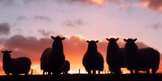 Moutons au coucher du soleil Photographie stock libre de droits