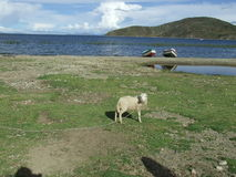 Moutons au lac Photo stock